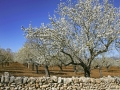 Almond Blossom in the spring on the island of Majorca, Balearic Islands, Spain, Europe