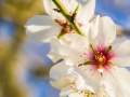 Detail of almond flower
