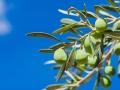 Olives tree branch