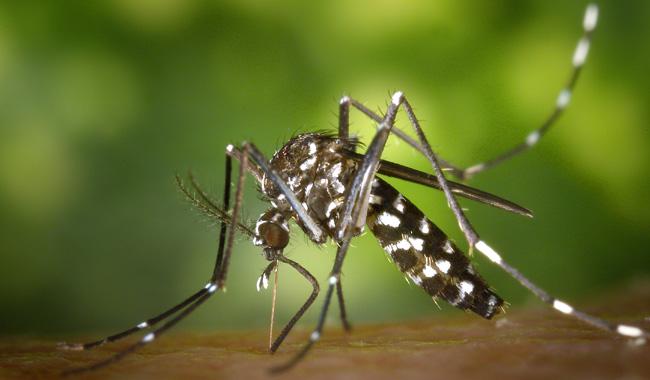 Tigermücken