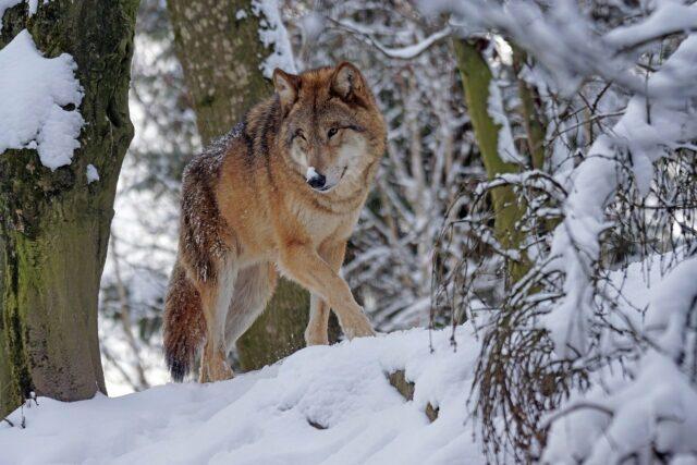 Wolfsjagd verboten