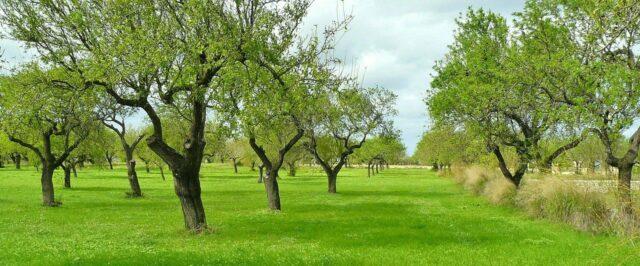 Olivenbäume Mallorca